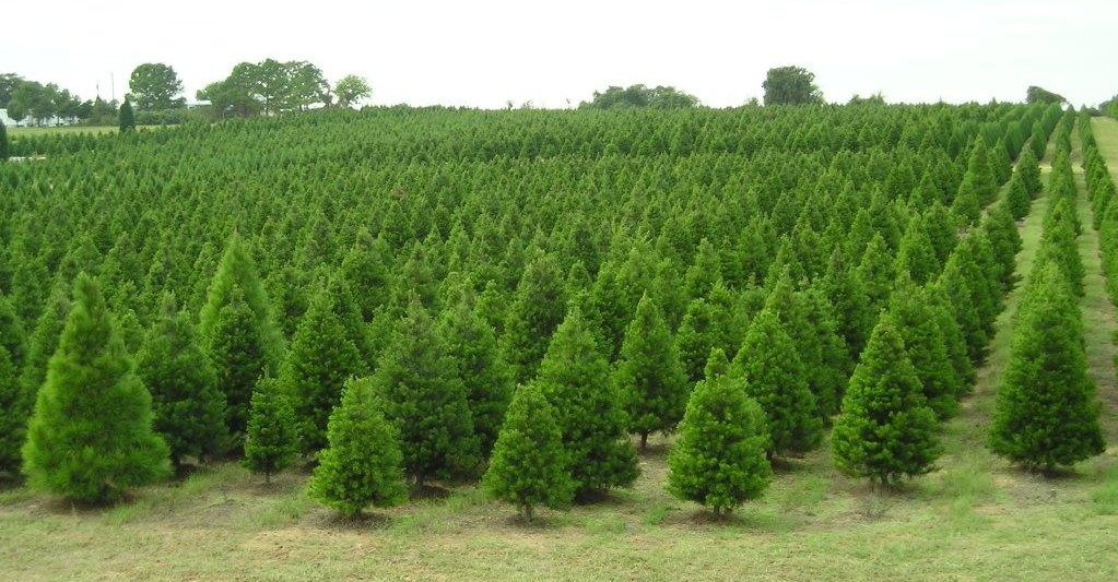 Americanos gastaram mais de US$1 bi em árvores de natal em 2017